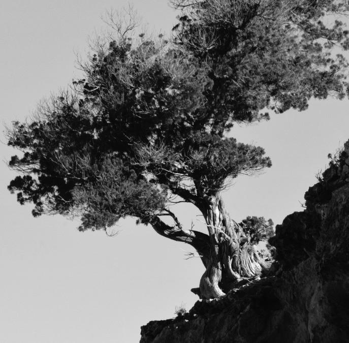Look up Sabina tree